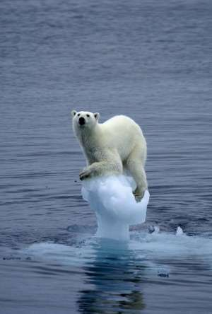 polar bear falling